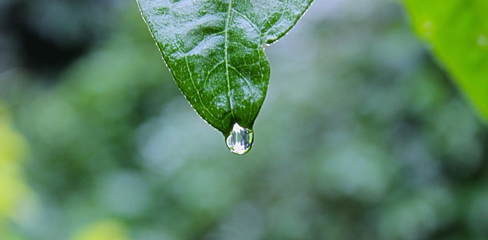 Green leaf with a drip of water at its tip.